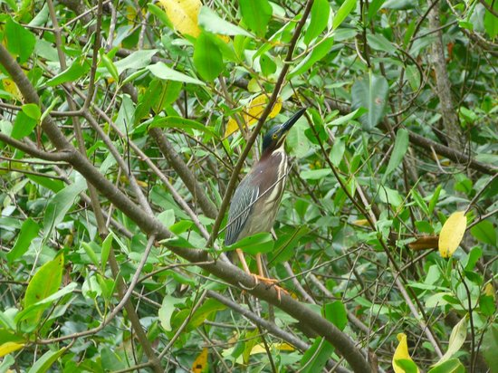 Cabinas Los Laureles - Tours: Green Heron In our Mangrove tour. Come see this and many many more birds in this great/fun tour