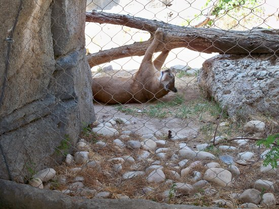 Playful Mountain Lion Picture Of Living Desert Zoo And Gardens State Park Carlsbad Tripadvisor