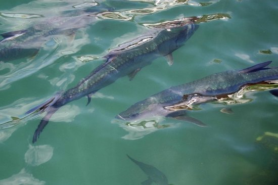 Lee's Roadside Grill: Tarpon in Back of the Restaurant