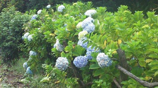 Hotel Montana Monteverde : wild hydrangeas growing