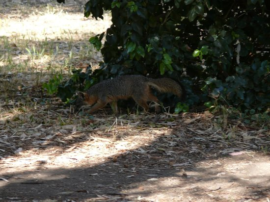 Scorpion Ranch Campground: Fox at the campground.