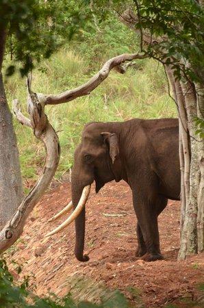 K Gudi Wilderness Camp: Wild tusker