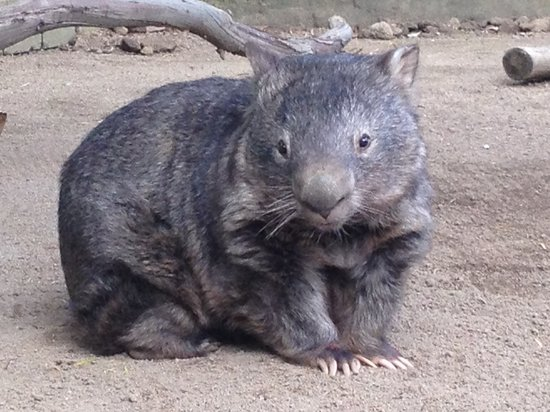 Ballarat, Australia: Patrick, the oldest common wombat in captivity