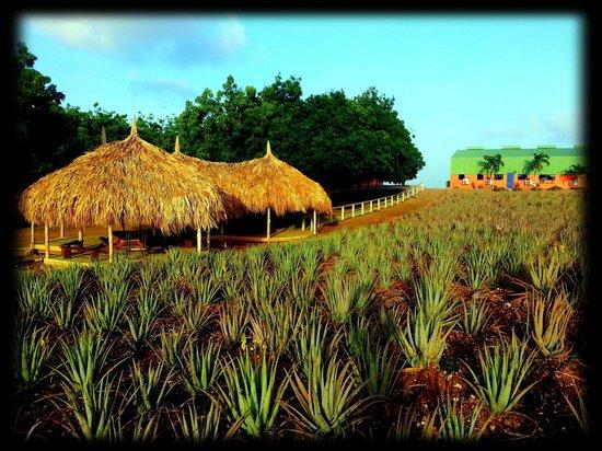 The Aloe Vera Plantation, Home of Curaloe
