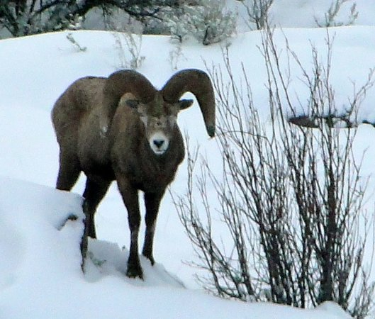 High Chaparral Guest House: Bighorn Sheep