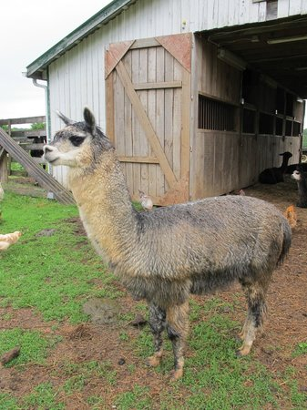 Southern Grace Bed and Breakfast: Alpaca