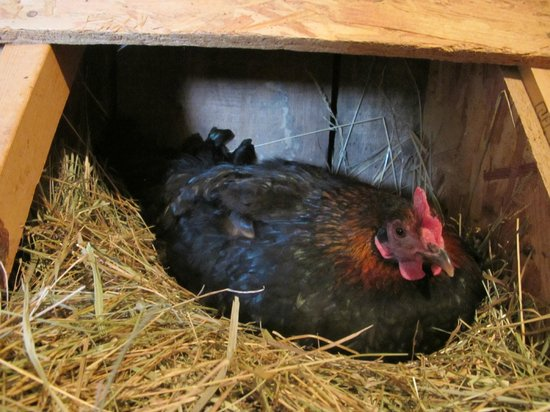 Southern Grace Bed and Breakfast: Gathering eggs from the chickens!