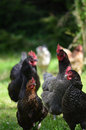 Quarter Bed and Breakfast: Pippa's free range hens