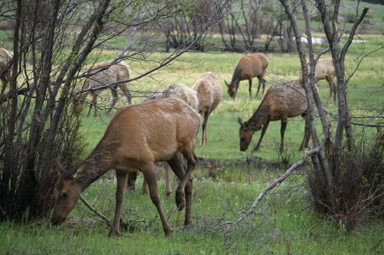 River Rock Cottages: Herd of Elk