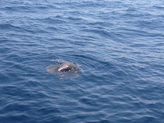 Drake Bay, Costa Rica: Sea turle