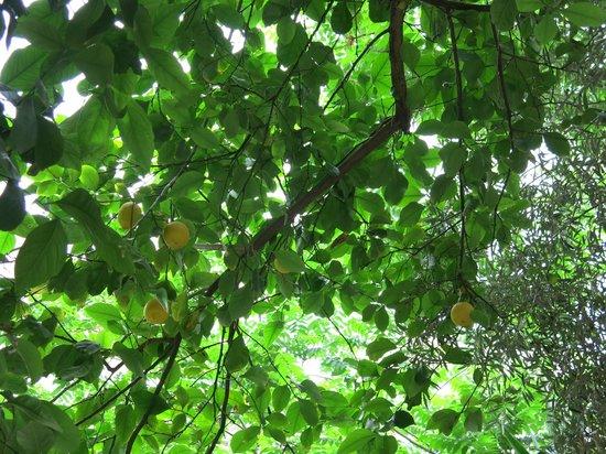 Athens Green Apartments: Lemon Tree