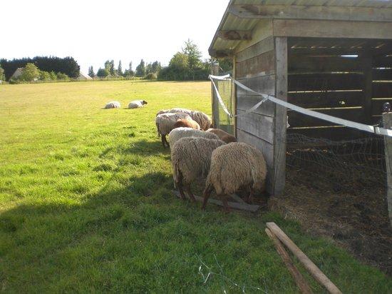 Entre Vignes et Chateaux: les moutons