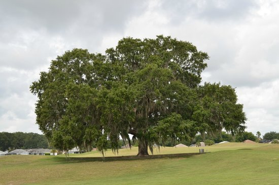 Stonecrest Country Club: One of many majestic oaks on the course.