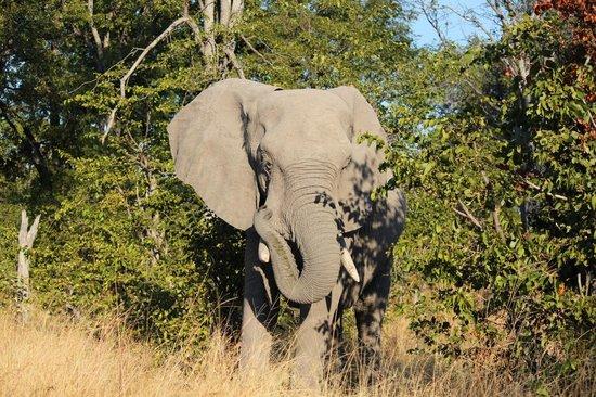 Tsakane Safari Camp : Looked up from my Giraffe dump to see this guy close.