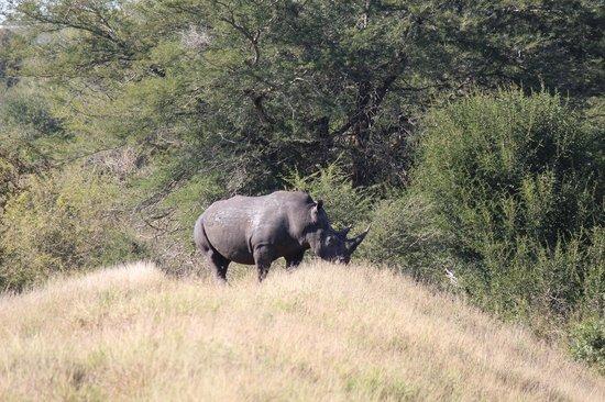 Tsakane Safari Camp: Kruger drive hope he is still alive.