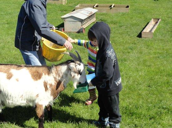 Penquite Farm : Feeding the goats