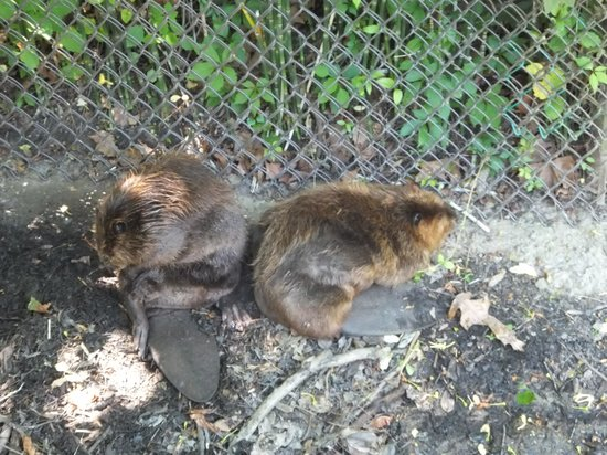 Newport News, VA: The Beavers