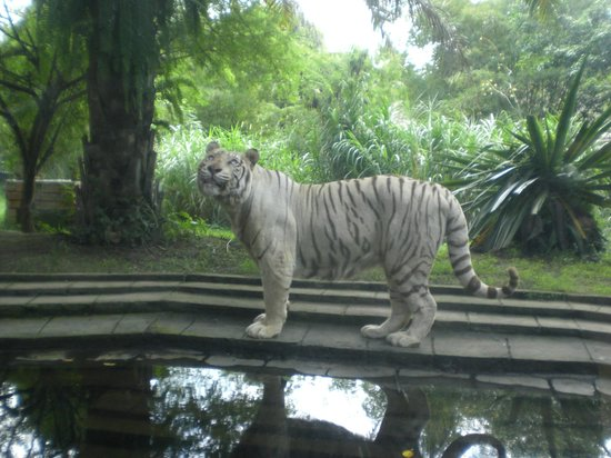 Bali Safari & Marine Park: The White Tigers are magnificent.