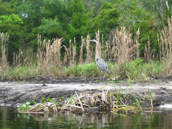 Juniper Springs Recreation Area: Heron?