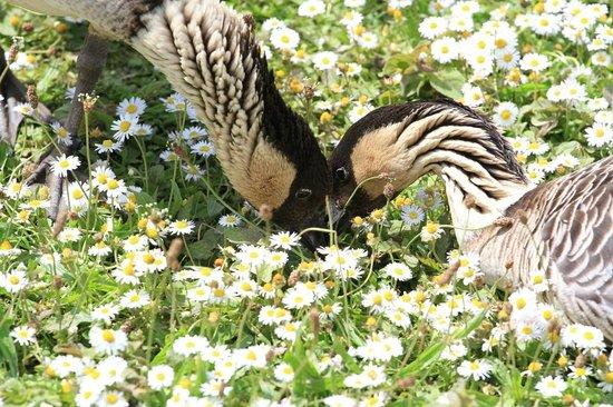 WWT London Wetland Centre: Hawaiian Goose