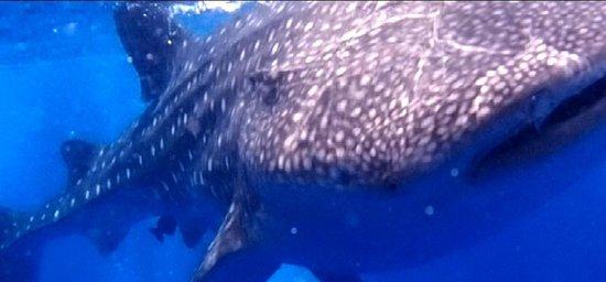 Hamanasi Adventure and Dive Resort: Whale Shark Diving
