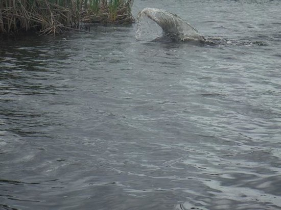 Dolphin - Captain Stu's Airboat Tours