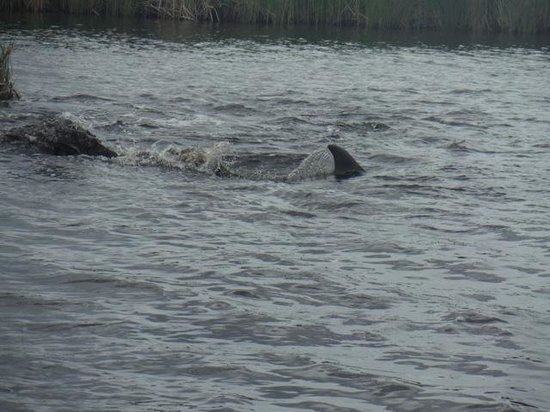 Captain Stu's Airboat Tours: dolphin