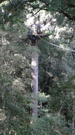 Tsitsikamma Canopy Tours: Big tree!