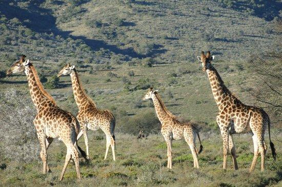 Ufumene Game Lodge: giraffes