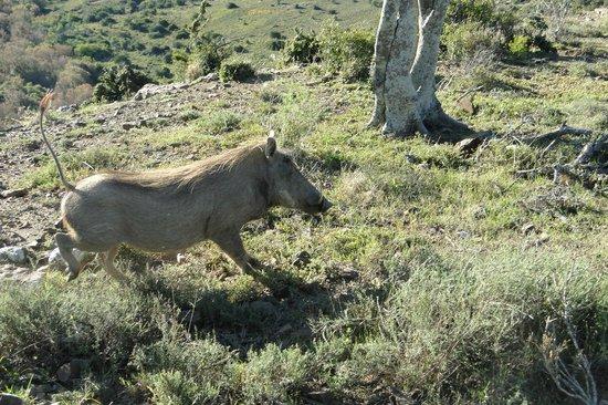Ufumene Game Lodge: warthog