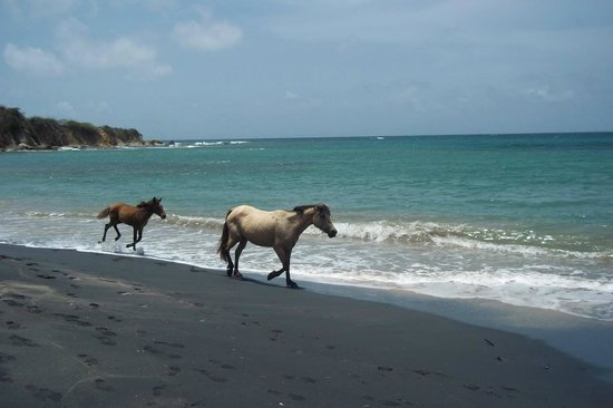 Black Sand Beach: Mare and baby (2 of the 14 we saw) running past us on Playa Negra