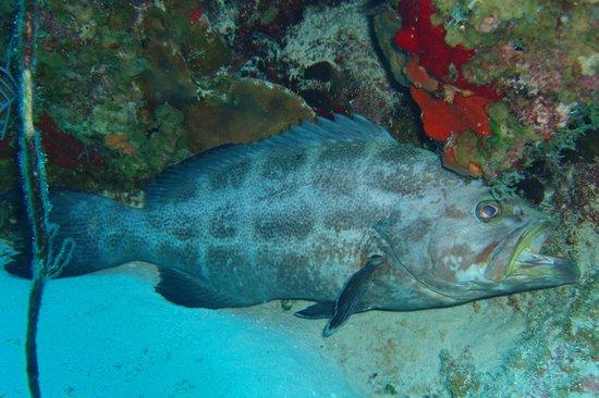 Flamingo Divers: Lots of big grouper!