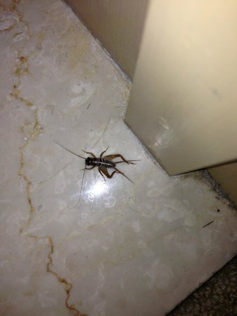 The Phoenician, Scottsdale: Resident cricket - sorry, no picture of the resident scorpion!