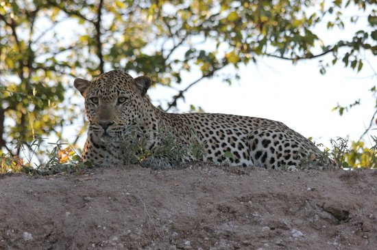 The Outpost: leopard spotted on game drive