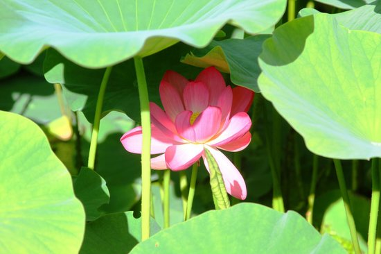 Chiba Park: The lotus have great story explained on site about how their birth from ancient seeds found in 1
