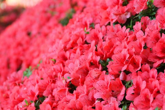 Chiba Park: Azalea bushes blanket the park with shades of pink in the spring