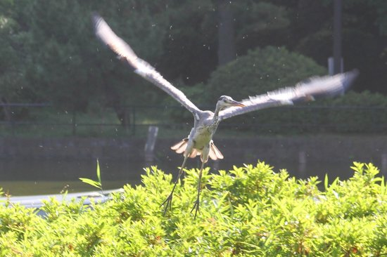 Chiba Park: A heron takes flight to the annoyance of swans in the middle of the lake