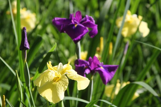 Chiba Park: The bed of iris on the west end of the park is especially beautiful in spring