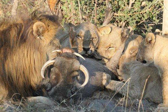 Impodimo Game Lodge: The warthog kill
