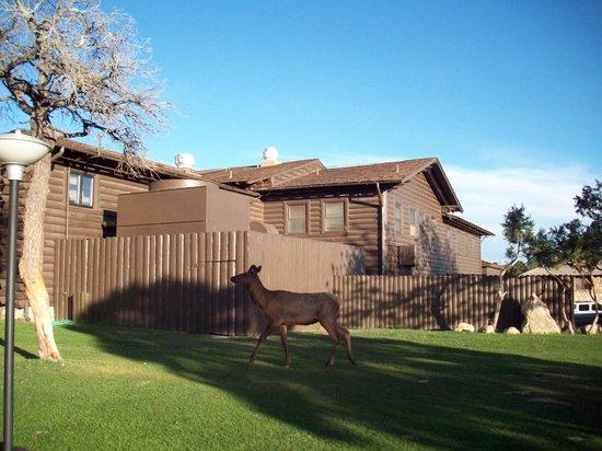 Maswik Lodge: near the rim, elk walked right past this Lodge
