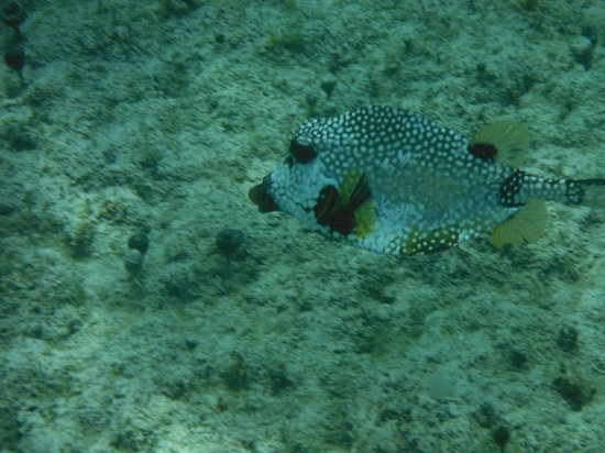 Playa Corona/Corona Beach Club: A trunk fish