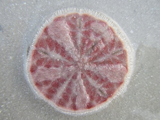 Pink Shell Beach Resort & Marina: Sand Dollar at low tide
