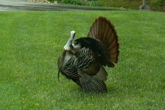 Chatlos Memorial Chapel: Beautiful Turkey Spotted on Property