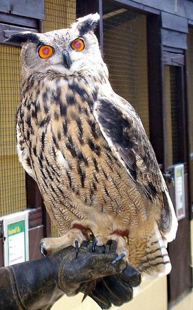 Rare Breeds Centre: Oehoe biggist owl there is