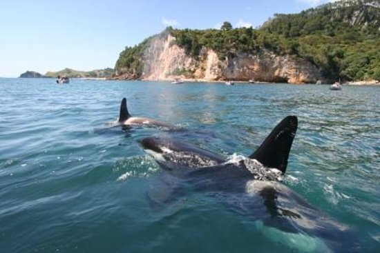 Whitianga i-SITE Visitor Information Centre: Orcas at play in the Te Whanganui-A-Hei Marine Reserve