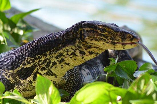 Ayodya Resort Bali: the big lizzard at the pond