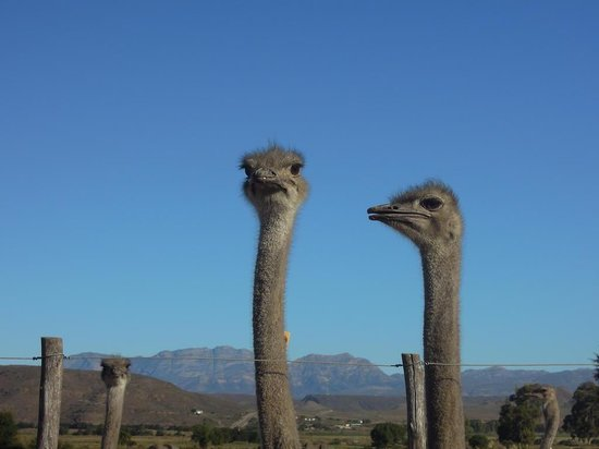 Safari Ostrich Show Farm: Beautiful Ostriches...