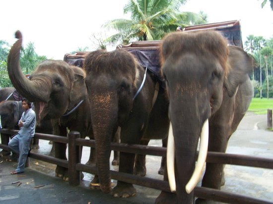 Bali Adventure Tours: 30 year old elephants