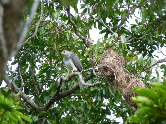 Daintree Discovery Centre: Grey Goshawk
