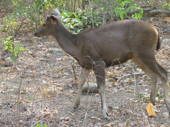 Country Club Wild Exotica Corbett: Barking deer?